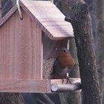 Rouge-gorge - Oiseau