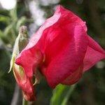 Pois de senteur - Lathyrus