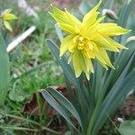 Narcisse 'Rip Van Winkle'