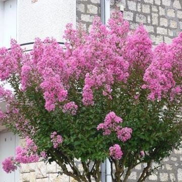 Lagerstroemia indica lilas des indes - Arbre lilas des indes ...