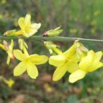 Jasmin d'hiver - Jasminum nudiflorum