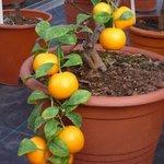 Clémentine - Citrus clementina - Agrume
