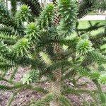Araucaria araucana - Désespoir des singes