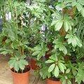 Schefflera arboricola - Arbre parapluie