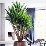 yucca elephantipes pied d 39 l phant. Black Bedroom Furniture Sets. Home Design Ideas