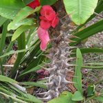 Euphorbia milii - Epine du Christ