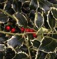 Houx - Ilex aquifolium