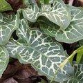 Arum d'Italie - Arum italicum 'Pictum' - Gouet