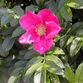 Rosier rugueux - Rosa rugosa