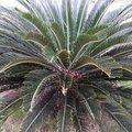 Cycas revoluta - Fougère palmier