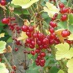 Groseillier - Ribes rubrum