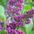 Lilas - Syringa vulgaris
