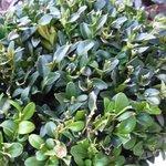 Buis - Buxus sempervirens