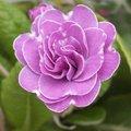 Primula vulgaris 'Marie Crousse' - Primevère 'Marie Crousse'