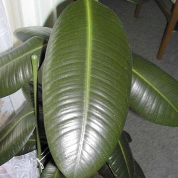 Caoutchouc ficus elastica for Maladies plantes interieur