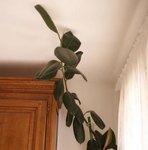 Caoutchouc - Ficus elastica