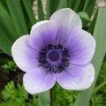 Anémone couronnée - Anémona coronaria