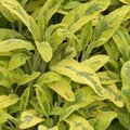 Sauge officinale 'Icterina' - Salvia officinalis
