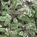 Sauge officinale 'Wurzburg' - Salvia officinalis