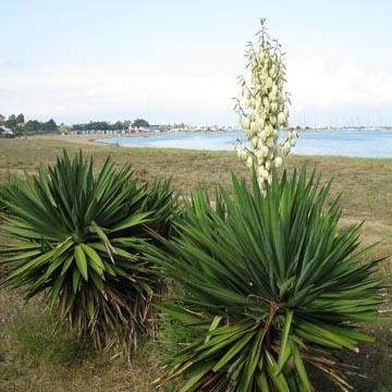 Yucca gloriosa yucca glorieux for Plante yucca exterieur