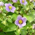 Exacum affine - Violette de Perse