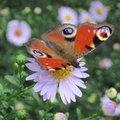 Paon du jour - Papillon