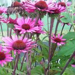 Echinacée 'After Midnight' - Echinacea