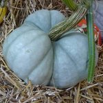 Courge Tristar