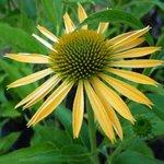 Echinacée 'Harvest Moon' - Echinacea