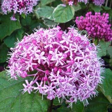 Quand planter les clerodendrons for Jardin quand planter