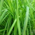 Carex elata 'aurea' - Laîche élevée