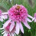 Echinacée 'Pink Sorbet' - Echinacea