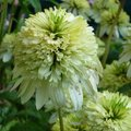 Echinacée 'Meringue' - Echinacea