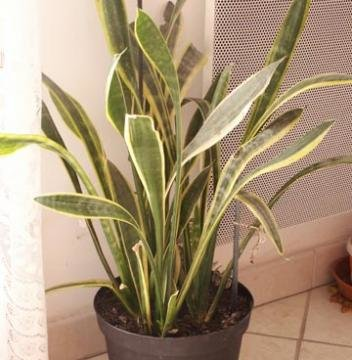 Langue de belle m re sansevieria trifasciata sansevi re - Plante langue de belle mere ...