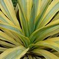Yucca gloriosa 'Bright Star' - Yucca glorieux