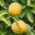 Poncirus trifoliata - Citronnier épineux