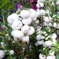 Pernettya mucronata - Gaultheria mucronata