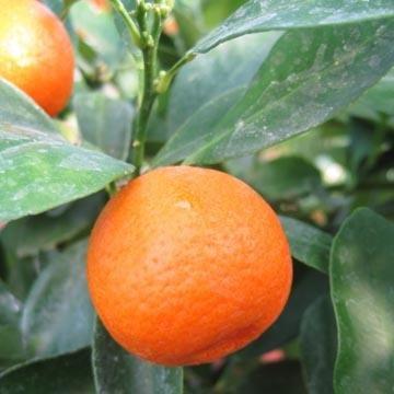 calamondin citrus mitis ou madurensis agrume. Black Bedroom Furniture Sets. Home Design Ideas