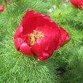 Pivoine tenuifolia - Paeonia
