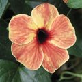 Thunbergia alata 'African Sunset' - Suzanne