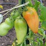 Tomate 'Andine Cornue'