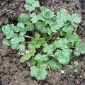 Ranunculus repens - Renoncule rampante