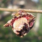 Phytopte du noisetier