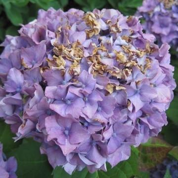 Br lure sur hortensia - Maladie des hortensias photos ...