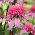 Echinacée 'Pink Double Delight' - Echinacea