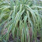 Carex 'Rehuko Sunrise' - Laîche