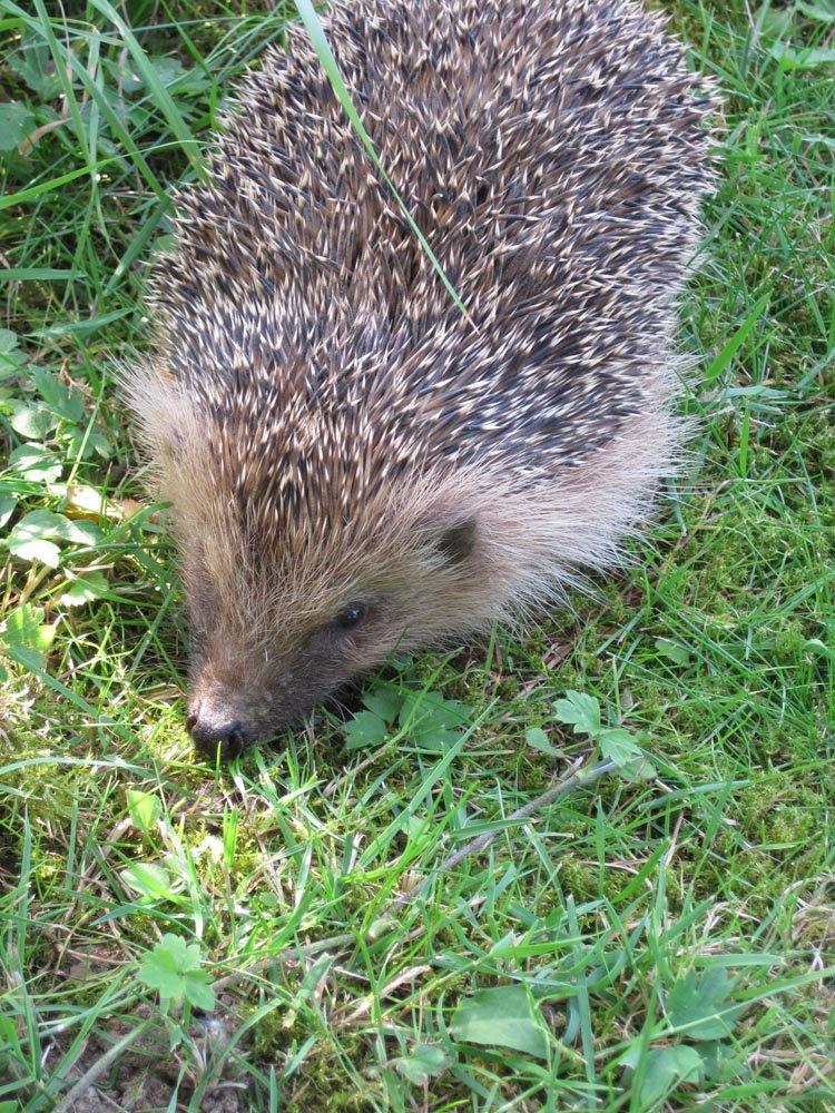 Le h risson un ami du jardinier for Herisson dans mon jardin