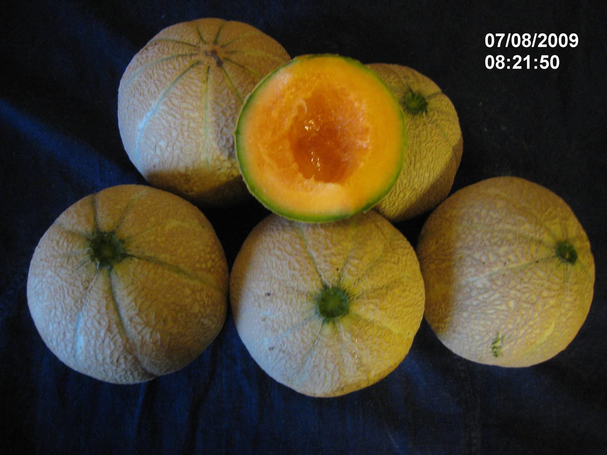 Melon cucumis melo - Quand cueillir un melon ...