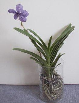 orchidee vanda couper tige
