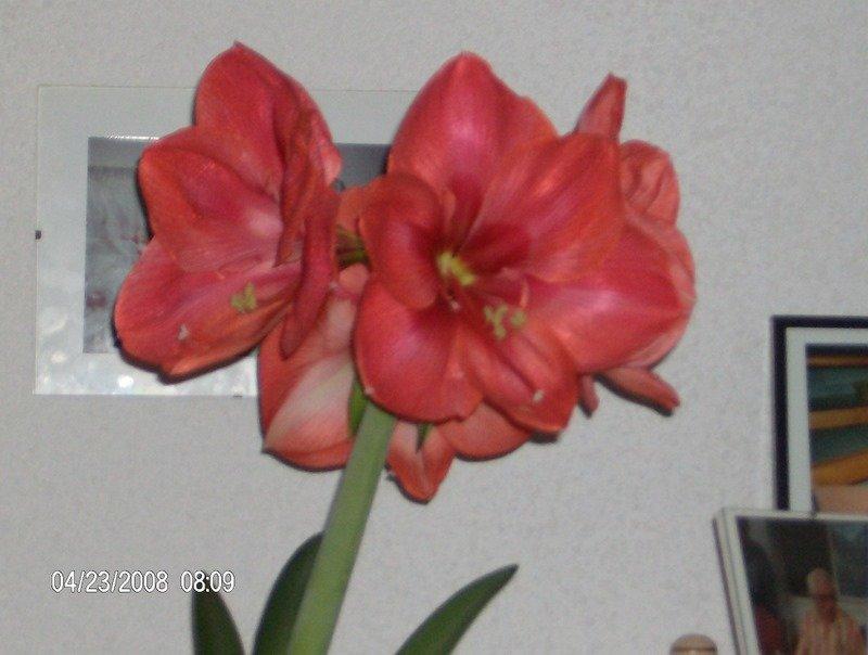 Amaryllis hippeastrum for Oignon amaryllis